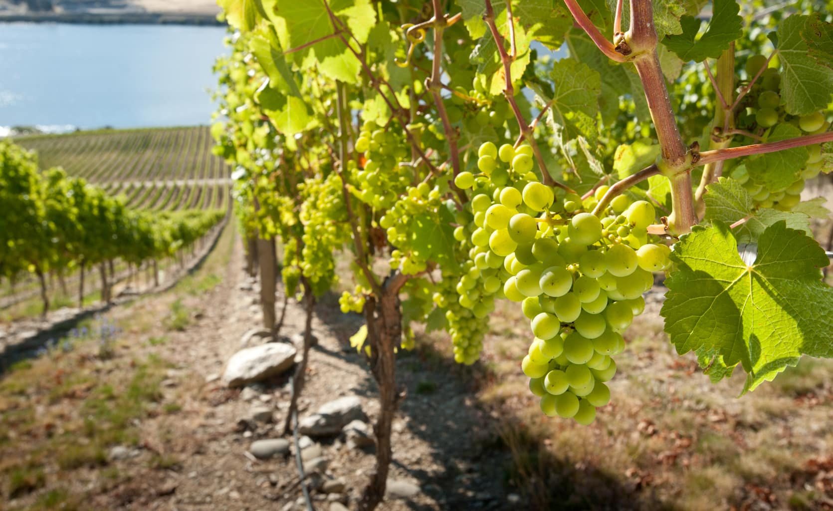 Development of Grape Yield Analyser continues to progress