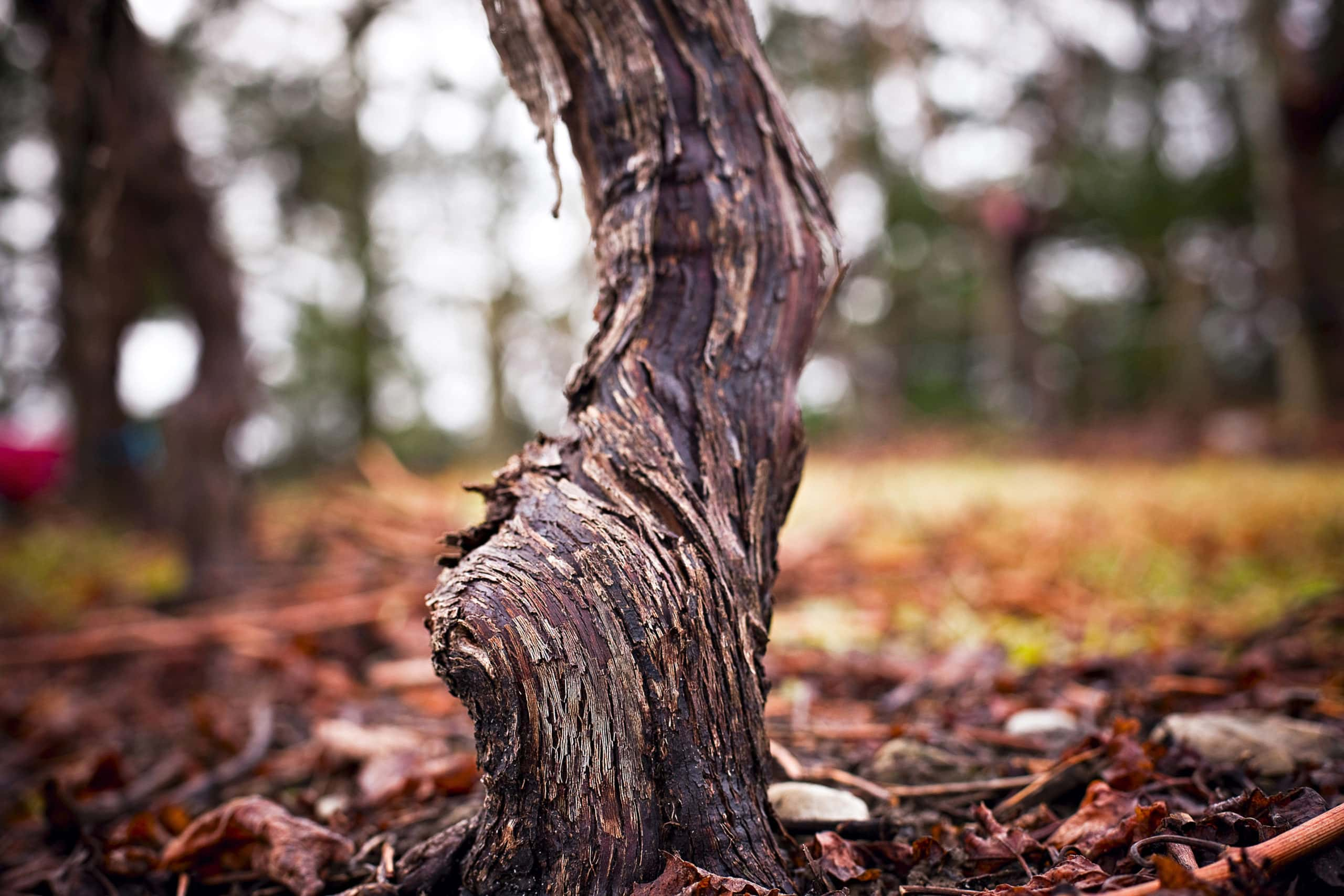 New research into the management of grapevine trunk disease