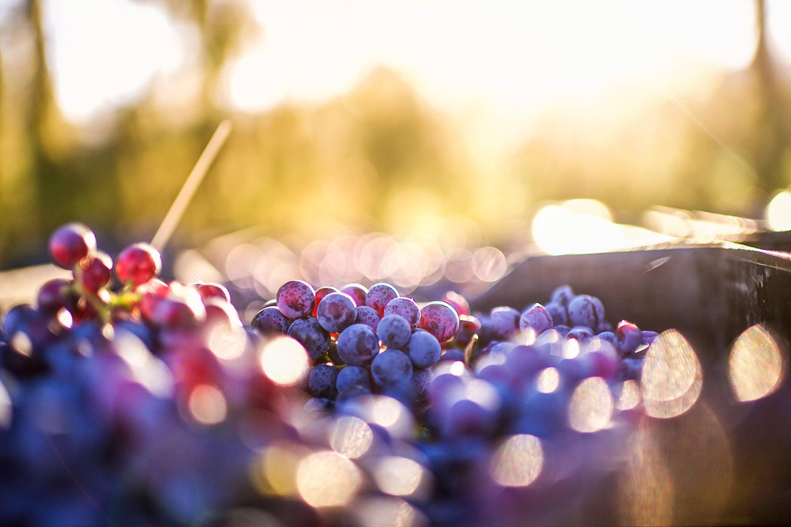 Pinot Noir grape and wine phenolic profiling